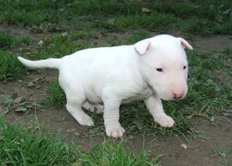 bull-bull-terrier-puppies-pictures-breed