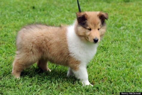 o-COLLIE-PUP-570